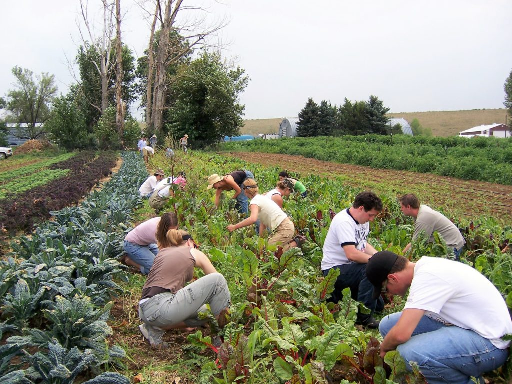 Farm to table students picking vegetables in a field